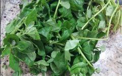 Como Plantar Espinafre com Mudas, Sementes ou Galhos com Raiz- Informações Nutricionais