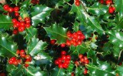 Azevinho ou Mirto Espinhoso – Planta Ornamental Rica em Benefícios, Tudo Sobre Planta do Natal com Fotos