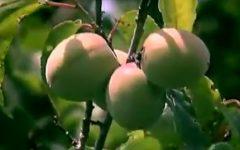 Umeboshi Como Fazer, Fruta Japonesa Rica em Nutrientes – Benefícios da Ameixa Umê