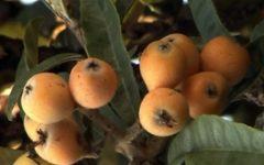Nêspera – Nutrientes e Benefícios da Ameixa Amarela – Plantar Nespereira