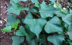 Benefícios das Folhas da Batata Doce – Dicas de Como Plantar Batata Doce