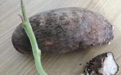 Como Plantar Cará – Dicas de Cultivo, Benefícios e Informações Nutricionais