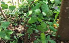 Como Plantar Ervilha Torta – Dicas de Cultivo em Vaso ou Horta, Como Regar, Adubar