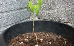 Como Plantar Maracujá Miúdo no Vaso – Cultivo Orgânico, Terra, Rega, Adubação