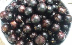 Benefícios da Jabuticaba – Informações sobre Vitaminas e Nutrientes da Jabuticaba, Contra Indicações