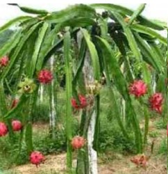 como-plantar-pitaya-de-polpa-vermelha-